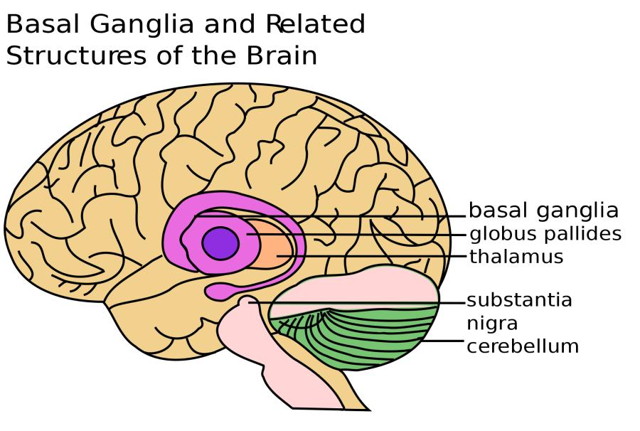 2000px-Basal_Ganglia_and_Related_Structures.svg